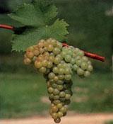 Uva Moscatel de grano menudo