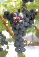 Uva Moscatel Negro