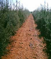 Plantación de Olivo
